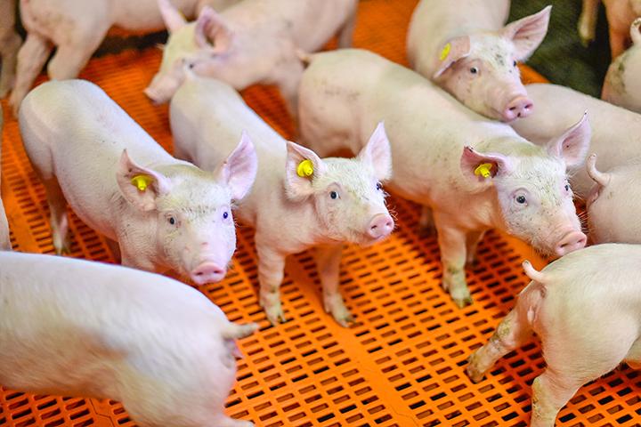 Basiskennis varkenshouderij