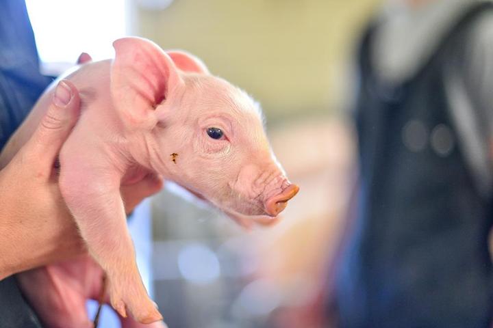 Biggenopfok varkenshouderij